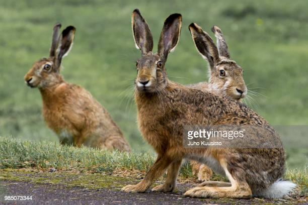 three rabbits - lepre comune foto e immagini stock