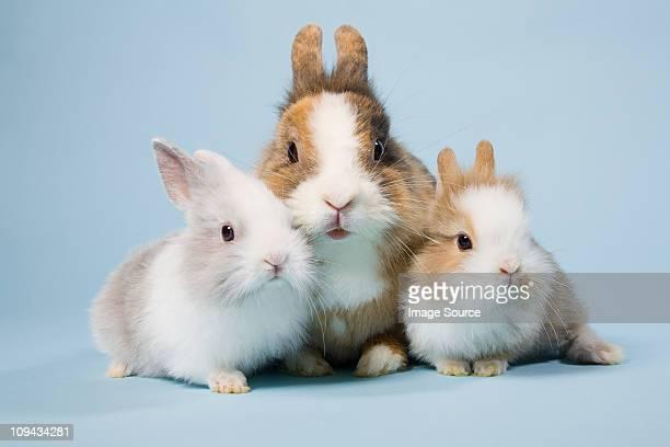 Three rabbits, studio shot