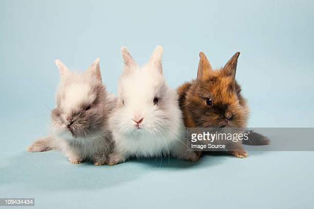 three rabbits, studio shot - lagomorphs stock pictures, royalty-free photos & images