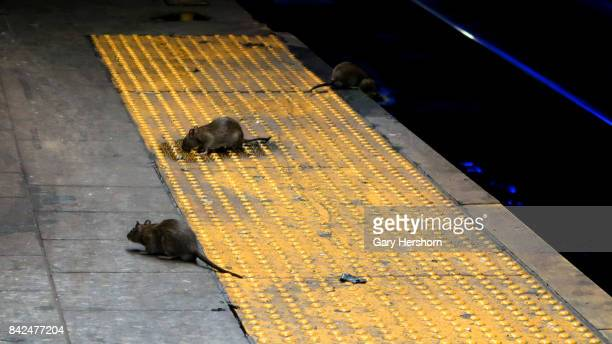 Three rats scavenge for food on the subway platform at Herald Square September 3 2017 in New York City on