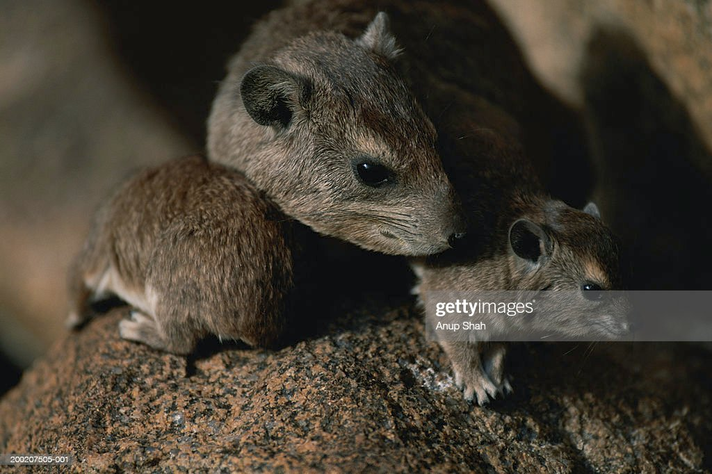 Three rats sitting together, close up : Stock Photo