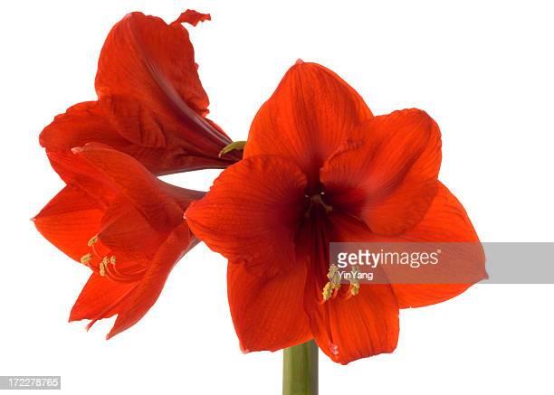 Trois rouge Amaryllis Hz