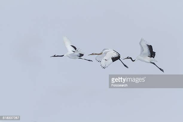 Three Red Crowned Cranes flying