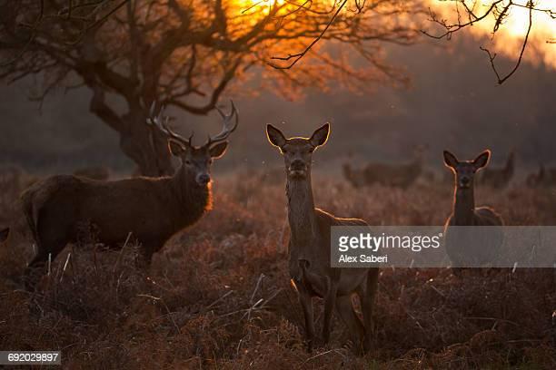 three red deer, cervus elaphus, at sunset in londons richmond park. - alex saberi photos et images de collection