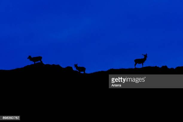 Three red deer stags silhouetted against night sky on top of hill in the Scottish Highlands Scotland