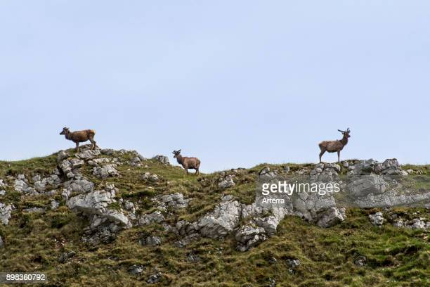 Three red deer stags with antlers covered in velvet on top of hill in the Scottish Highlands in spring Scotland