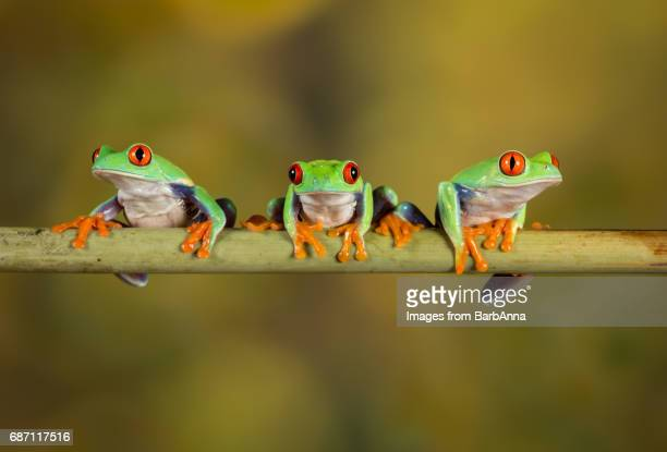 Three Red Eye Tree Frogs posing for camera