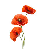 Three red poppies isolated on white background.