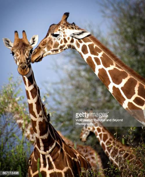 Three Reticulated Giraffes on Angle in Laikipia