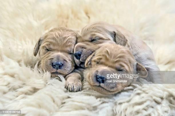 Three Retriever Puppies