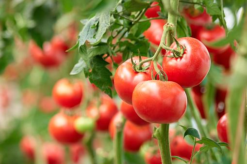 Three ripe tomatoes on green branch. 1132371208