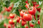 Three ripe tomatoes on green branch.