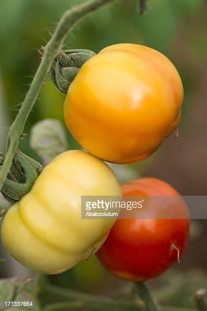 three ripening tomatos (solanum licopersicum) - unripe stock pictures, royalty-free photos & images