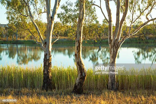 three river gums - eucalyptus tree stock pictures, royalty-free photos & images