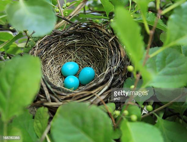 Three robin's eggs in a nest
