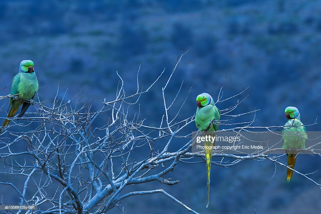 Three Rose-ringed parakeets on tree : Stockfoto