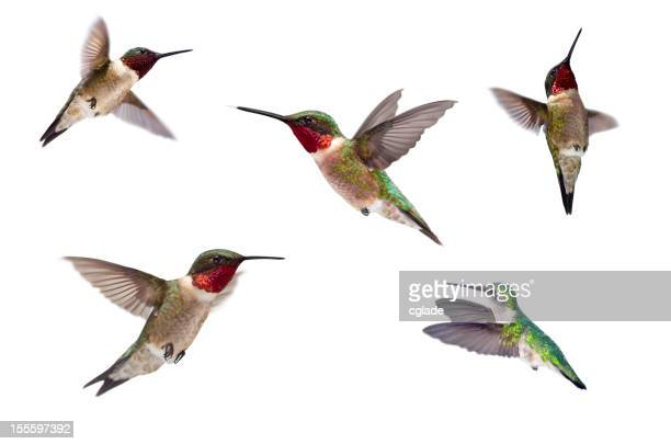 Three Ruby Throated Hummingbirds Isolated on White