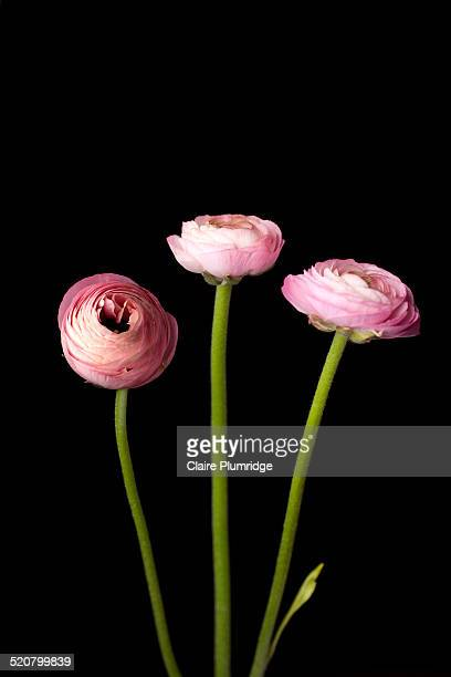three rununculus - claire plumridge stock pictures, royalty-free photos & images