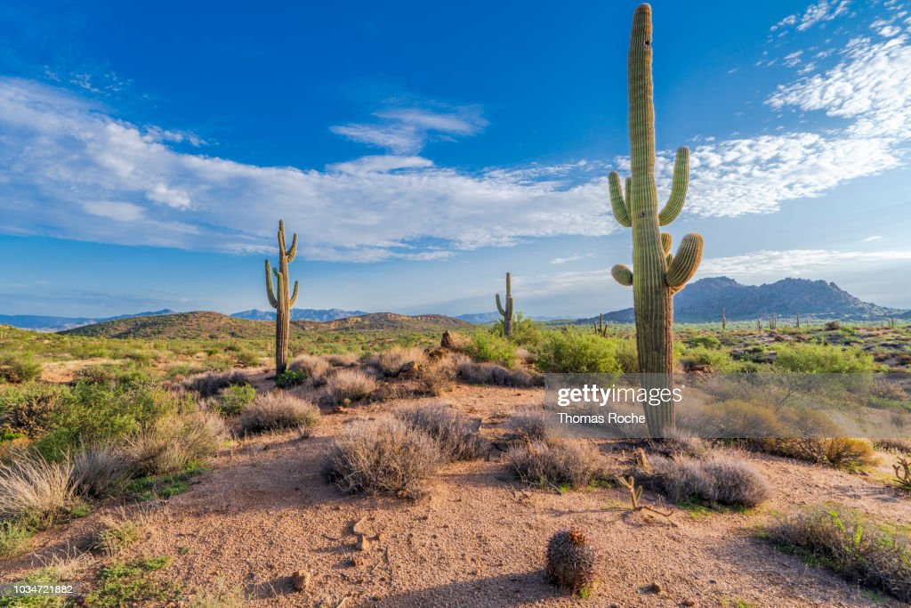 Three Saguaro cacti in the Arizona desert : Stock Photo