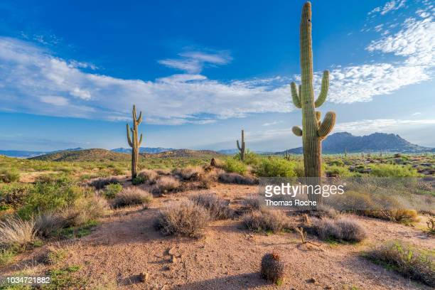 three saguaro cacti in the arizona desert - saguaro cactus stock pictures, royalty-free photos & images