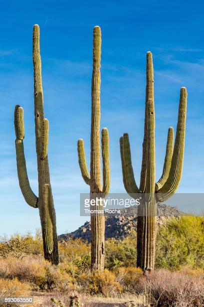 Three saguaros
