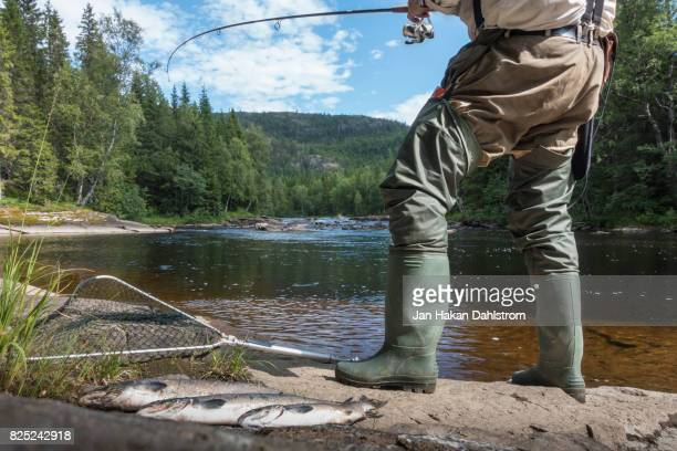 three salmons and man fishing in river - waders stock pictures, royalty-free photos & images