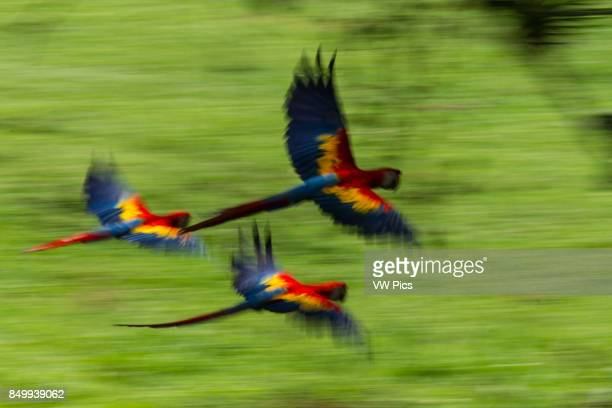 Three Scarlet Macaws Ara macao in flight in Costa RicA A slow shutter speed and panning the camera gives a blurred effect