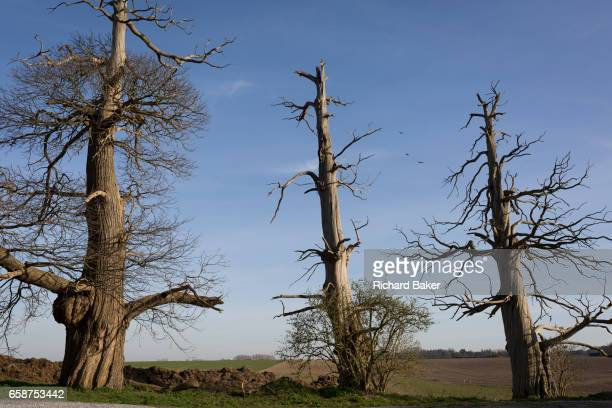 Three scarred Chestnut trees remains of a wood on the Waterloo battlefield where French troops died in their thousands outside the walls of...