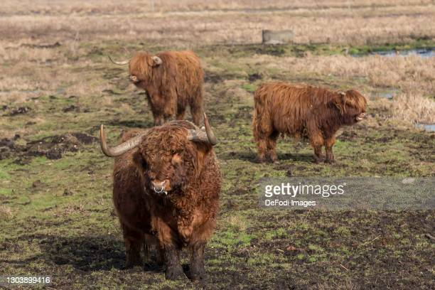 Three Scottish highland cattle on a meadow in the Gundelfinger Moos on February 22, 2021 in Guenzburg, Germany.