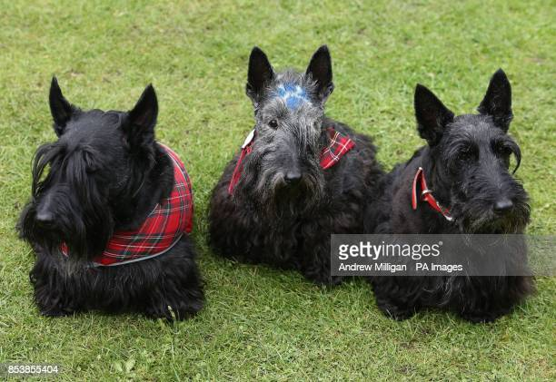 Three Scottish Terriers including Maggie who has a saltire painted on her forehead sit in the grass at the Ballater Highland Games