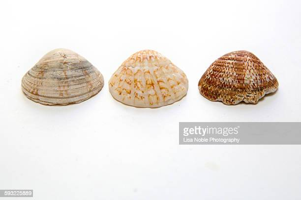 Three sea shells in a row on white background