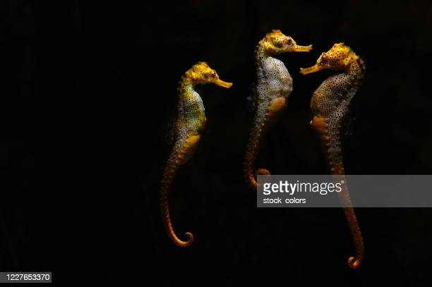 three seahorses at the aquarium - one animal stock pictures, royalty-free photos & images