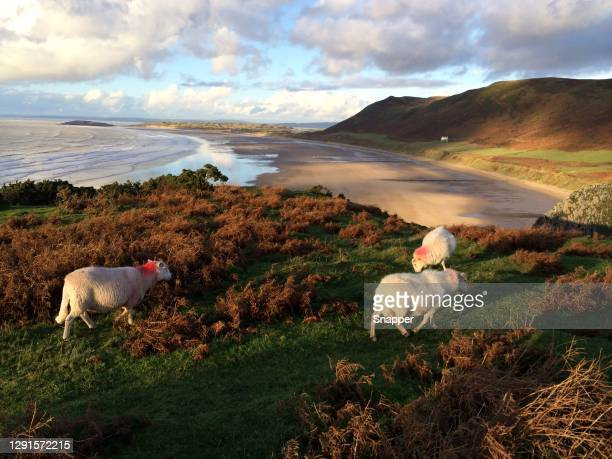 three sheep grazing on a coastal cliff, rhossili bay, gower peninsula, wales, uk - sheep stock pictures, royalty-free photos & images