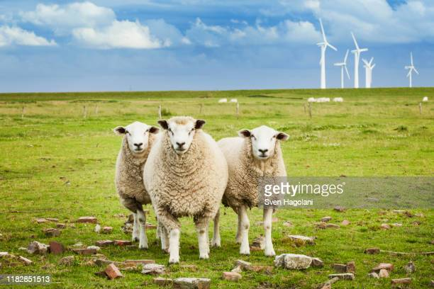 three sheep on pasture with wind farm in background in schleswig-holstein, germany - north sea stock pictures, royalty-free photos & images