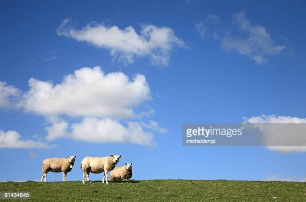 Drei Schaf