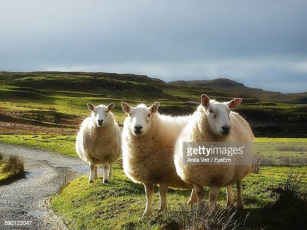 Three Sheep Standing On Grassy Field By Footpath Against Cloudy Sky