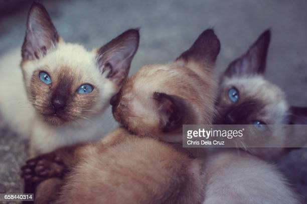 Three siamese kitten with two looking at the camera