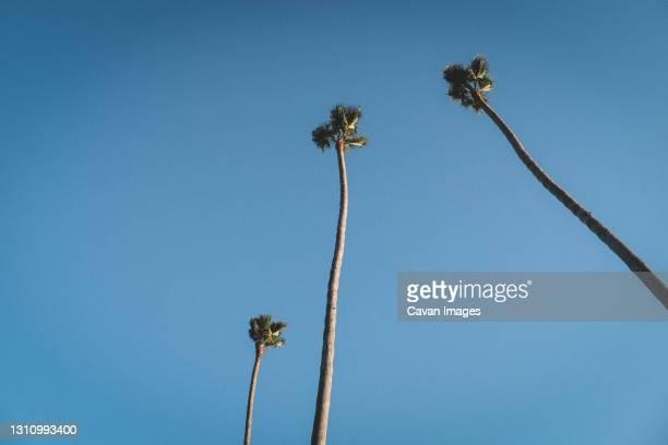 three skinny palm trees against a bright blue cloudless sky - pismo beach stock pictures, royalty-free photos & images