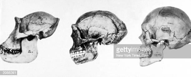 Three skulls at different stages of evolution gorilla apewoman and modern man December 1937