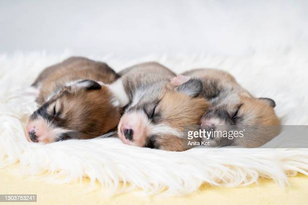 three sleeping puppies - puppies stock pictures, royalty-free photos & images
