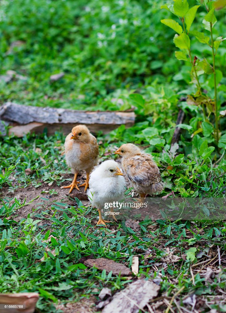 three small chicken farm : Stock Photo