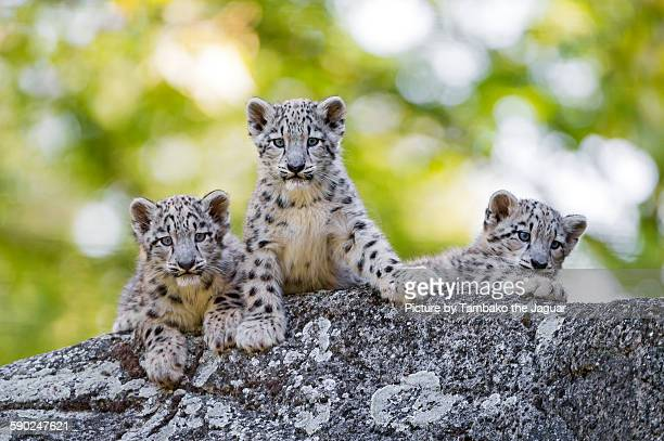 Three snow leopards cubs posing well