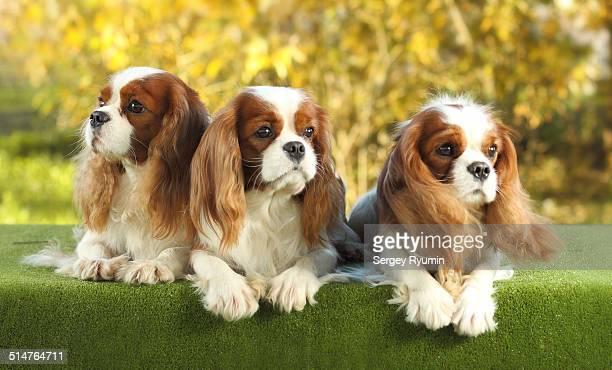Three spaniel