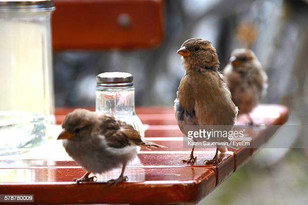Three Sparrows On Table