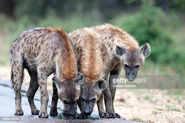 Three spotted hyenas on the road, Kruger national park, South Africa