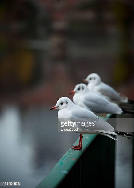 Three stacking pigeons