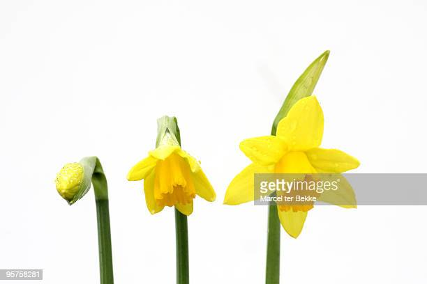 three stages - daffodils stock photos and pictures