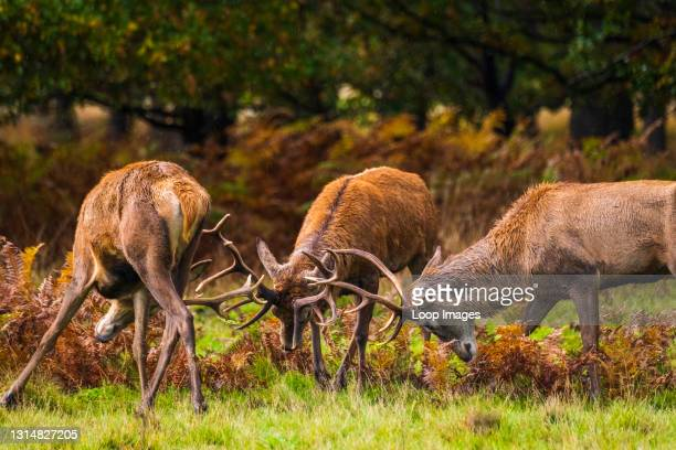 Three stags are fighting during mating season in Richmond.