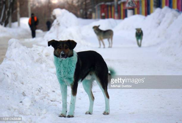 Three stray dogs with bright green fur polluted with an unknown toxic substance walk along the street, on February 18, 2021 in Podolsk, 37 km. From...