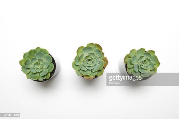 Three succulents in a row on a white background
